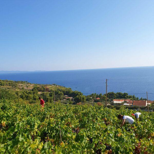 Boutique winery Mikulic vineyard